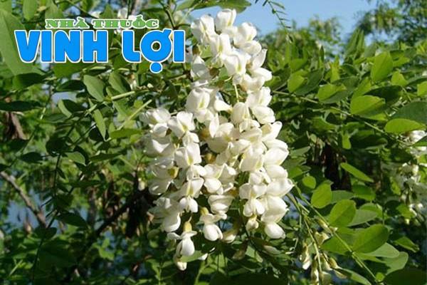 Hình ảnh cây hoa hòe - thành phần của Thăng Trĩ Mộc Hoa