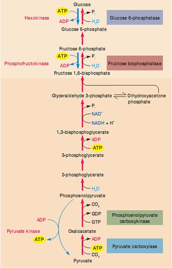 Quá trình tân tạo đường tại gan sinh lý và trong bệnh đái tháo đường