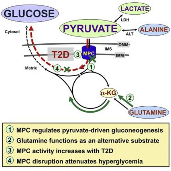 Berberin và tân tạo glucose