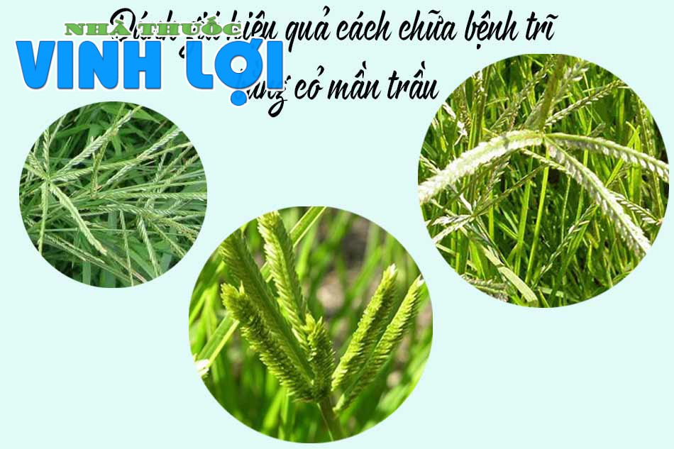 Đánh giá hiệu quả cách chữa bệnh trĩ bằng cỏ mần trầu