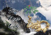 Sâm Ngọc Linh - một trong những loài sâm tốt nhất trên thế giới