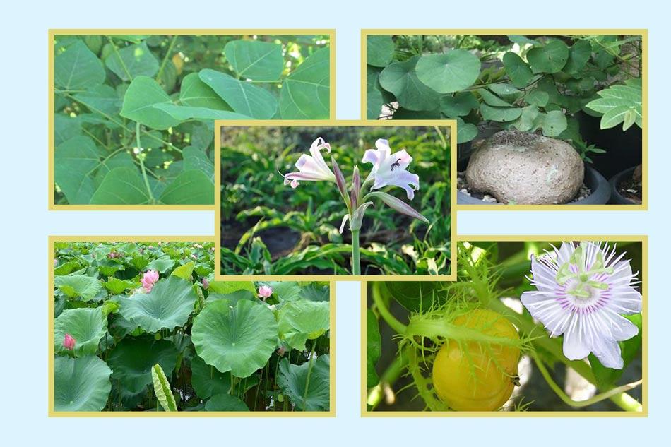 Nguyên liệu thuốc an thần Mimosa từ thiên nhiên